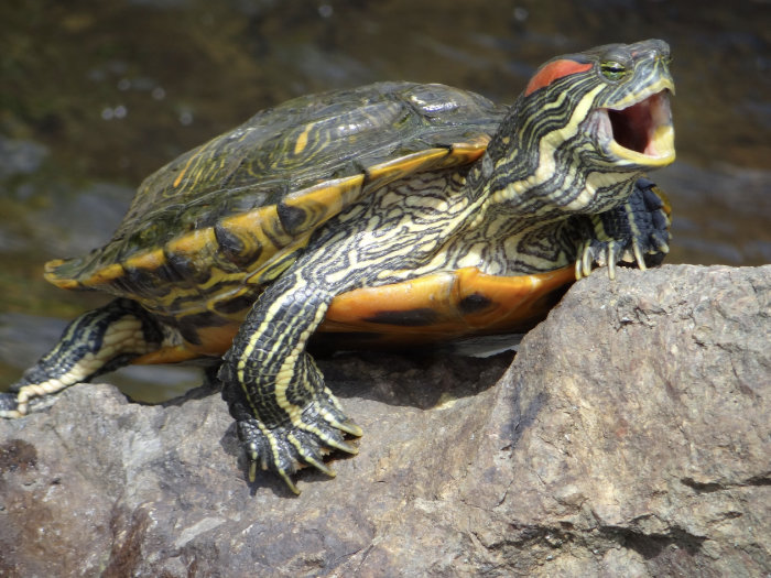 Red-eared slider turtle on a rock beside water