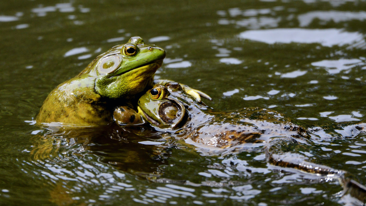Two toads wrestling in water